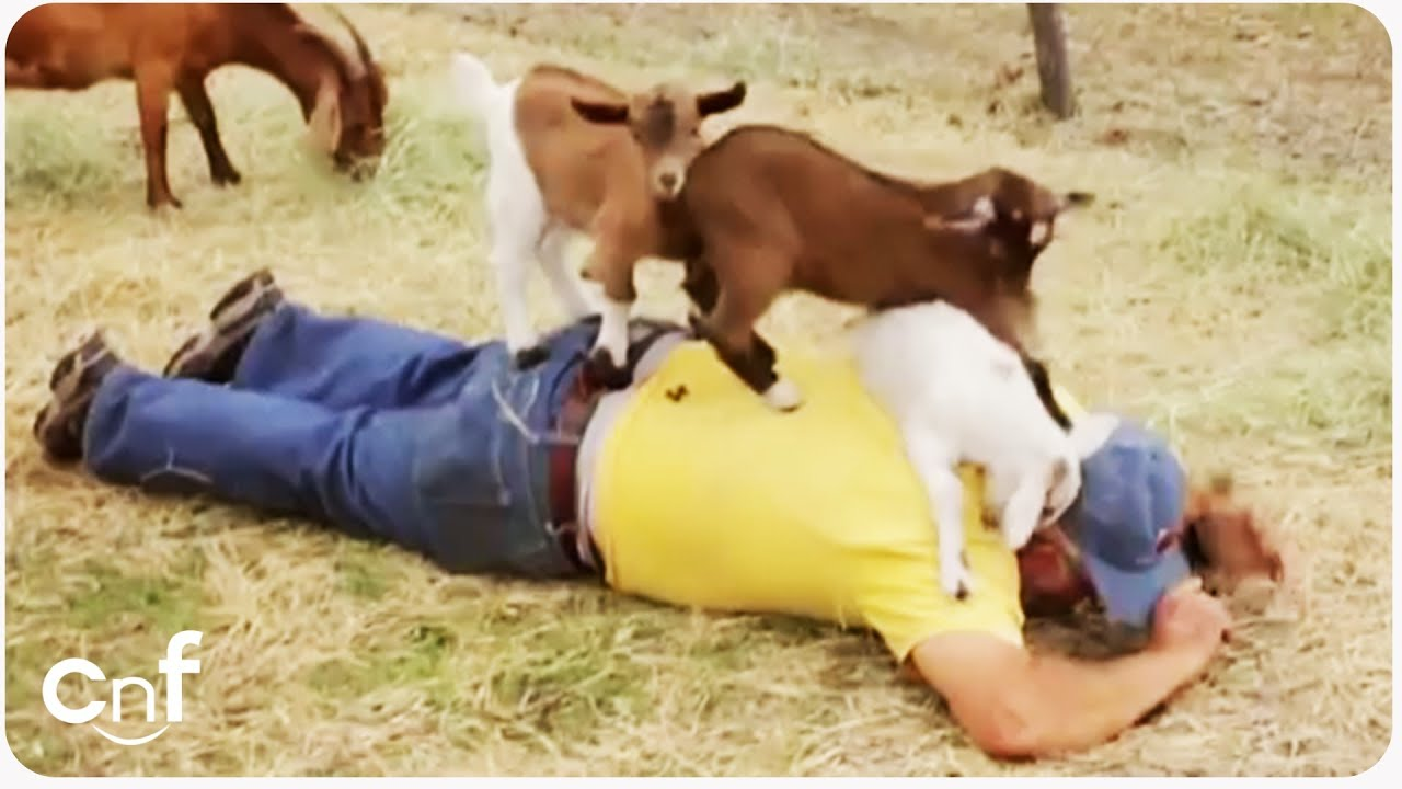 Baby Goats Give Man Back Massage