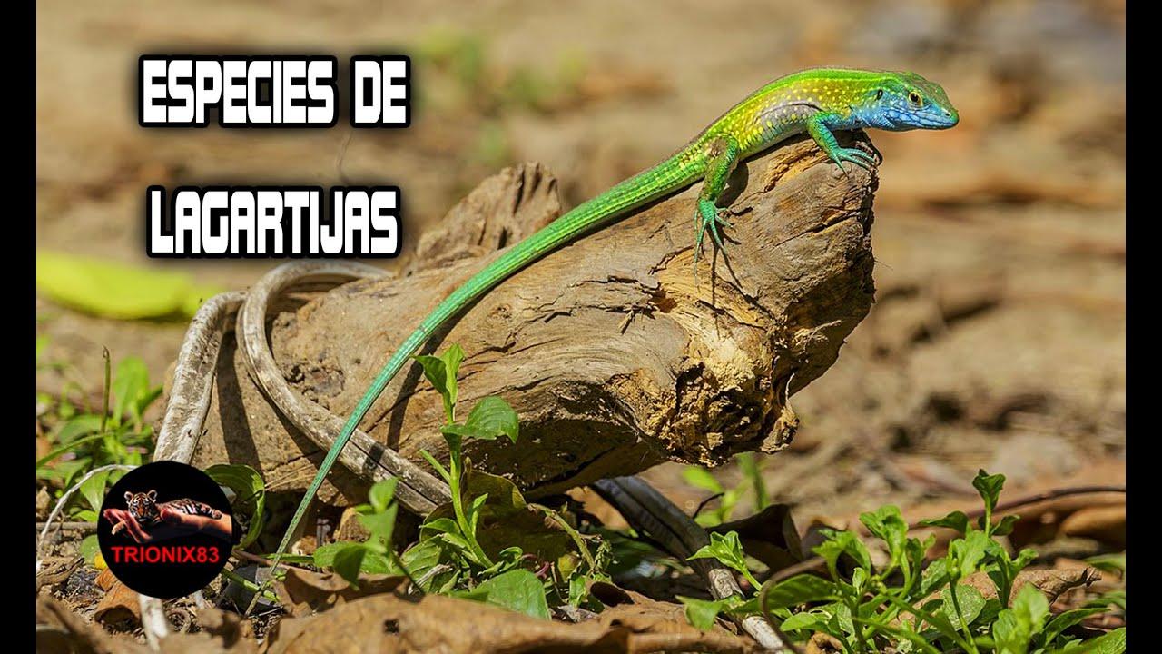Download Lagartijas que puedes tener como mascota – ESPECIES DE LAGARTIJAS – LAGARTIJAS GIGANTES