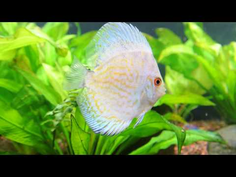 Discus 180 gallon Planted Tank White Butterfly, Red Leopard, Yellow Pigeon