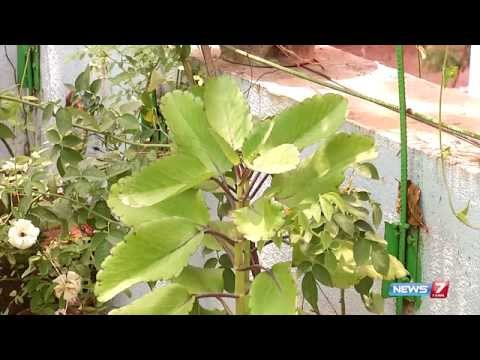 Ranakalli plant - helps to cure kidney stone | plant @ your kitchen garden | Poovali | News7 Tamil