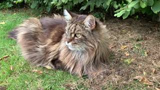 Maine Coon Cat Takes Unexpected Walk!