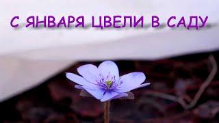 Эти цветы порадуют вас цветением раньше остальных. Первоцветы. Часть 1.