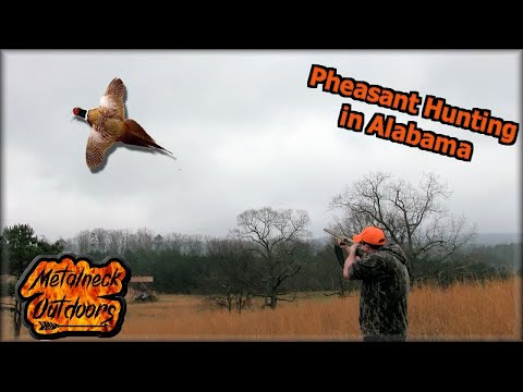 Pheasant Hunt In Alabama At Five J's Hunting Preserve