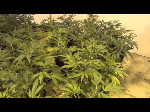 Room B - Green Crack Cannabis Grow - Part 1