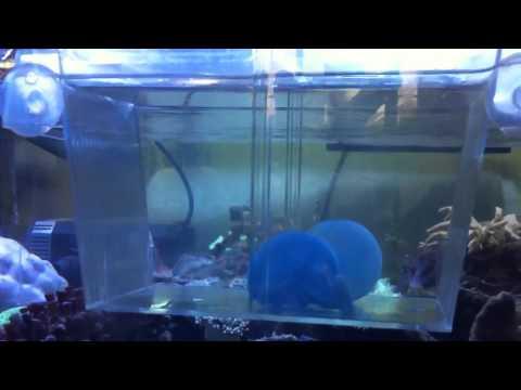 Catostylus Mosaicus Jellyfish For Marine Aquarium