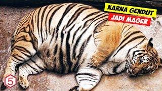 Alami Obesitas, Harimau ini jadi Mager untuk bergerak karna Kegendutan