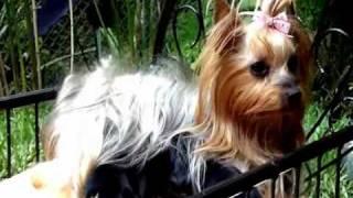 Yorkshire Terrier Yorky Venta De Cachorros En Medellín
