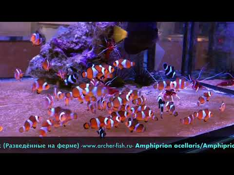 Amphiprion ocellaris/Amphiprion percula