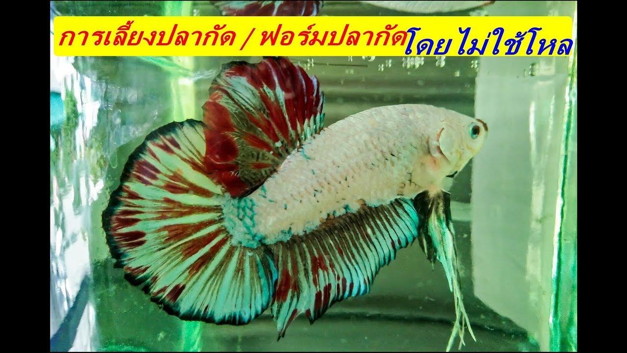 เลี้ยงปลากัด /ฟอร้มปลากัดโดยไม่ใช้โหล ( สัตว๋เลี้ยง # 26 )