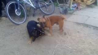 Staffordshire Bull Terrier Vs Rottweiler