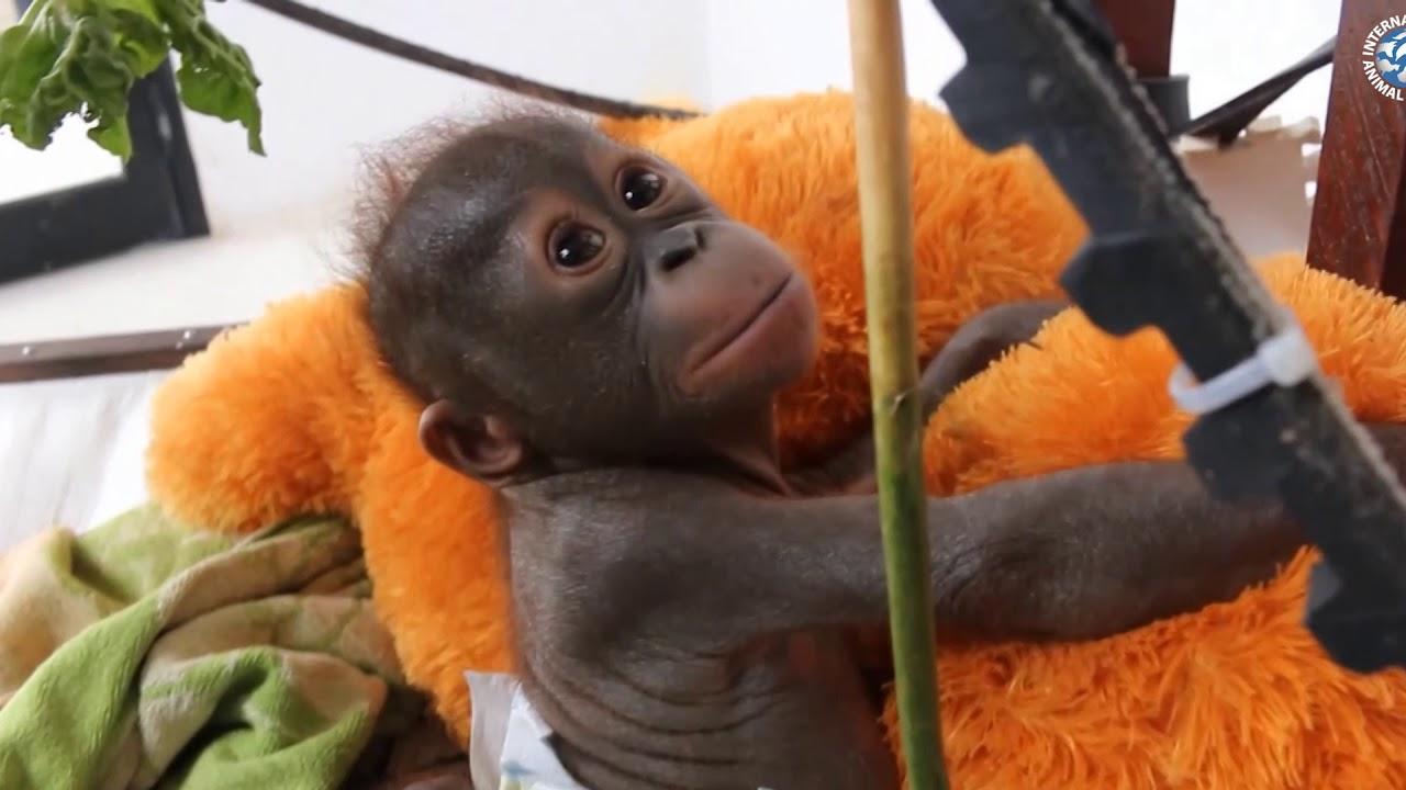Download The Plight of The Orangutan