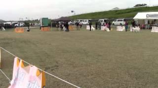 2015/11/7徳島にてホワイトスイスシェパードドッグ単独展開催.