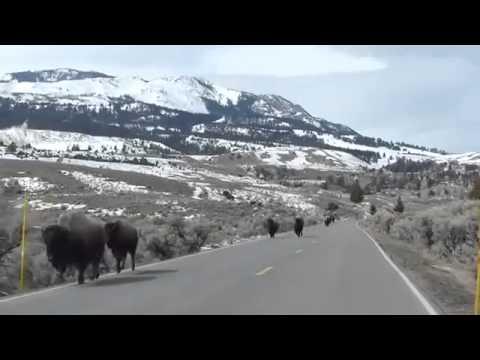 Les bisons fuient le parc Yellowstone !