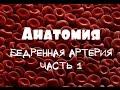 Бедренная артерия a.femoralis