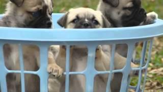 Austrailian Shep ~ Pugs For Sale!
