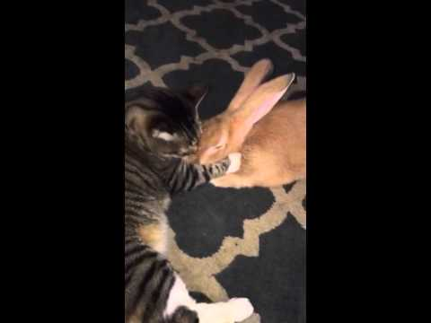 Gus the Cat Loves Pancake the Flemish Giant Rabbit!