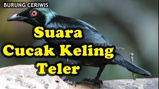 Suara Kicauan Burung Cucak Keling Teler Gacor