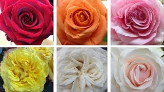Cut Flower Product Special: South American Roses