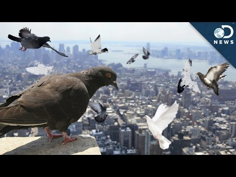 Why Are There So Many Pigeons?