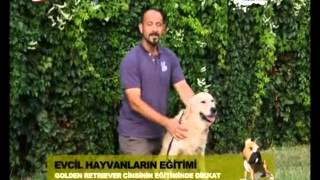 Golden Retriever - Ev köpekleri eğitimi