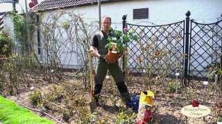 Pflanzen von Container-Rosen bzw. Topfrosen - Rosenpark Dräger