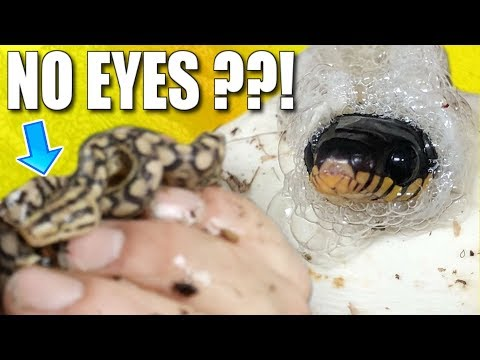My White Rainbow Snakes Have Two Different Colored Eyes Brian Barczyk Skachat S 3gp Mp4 Mp3 Flv