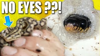 SNAKE BORN WITH NO EYES!! AGAIN!! Mangrove snake (venomous) babies hatching! | BRIAN BARCZYK