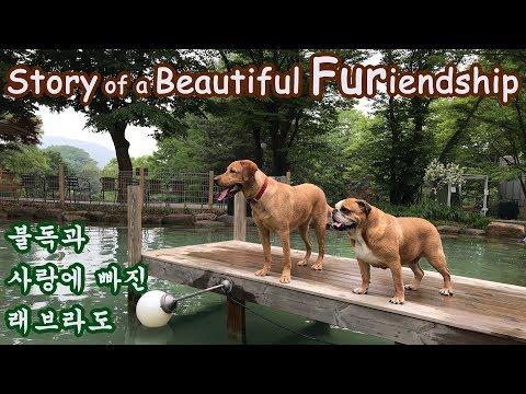 My bulldog met a soulmate - a labrador! | Cute Dogs friendship