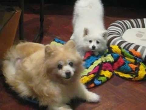 Japanese Spitz puppy argues with German Spitz