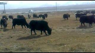 Kyrgyz Yaks