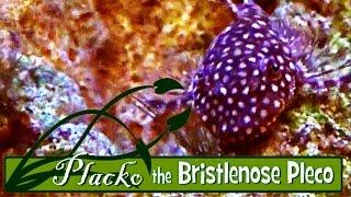 Video Placko the Bristlenose Pleco - Natural Aquarium Algae Feeding download MP3, 3GP, MP4, WEBM, AVI, FLV Oktober 2018