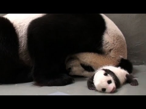 Taiwan-born panda cub gets back to mother's embrace