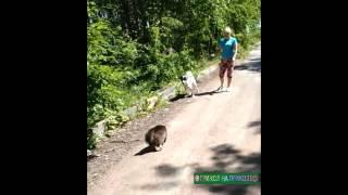 Самый Борзый Кот! Собаки нервно курят в сторонке Умора! Смотреть Всем! Bully Cat