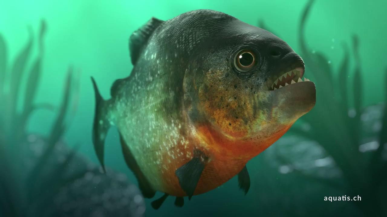 3d Fish Wallpaper Hd Le Piranha D Amazonie Aquatis Aquarium Vivarium Lausanne