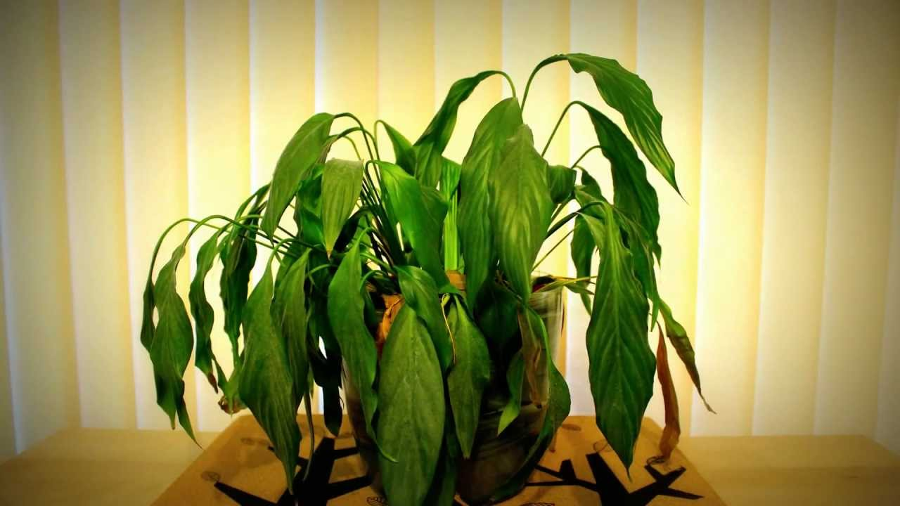 Peace Lily Time Lapse Youtube