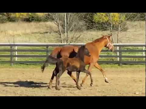 2016 Black Bay Friesian X Oldenburg Sporthorse Filly For Sale