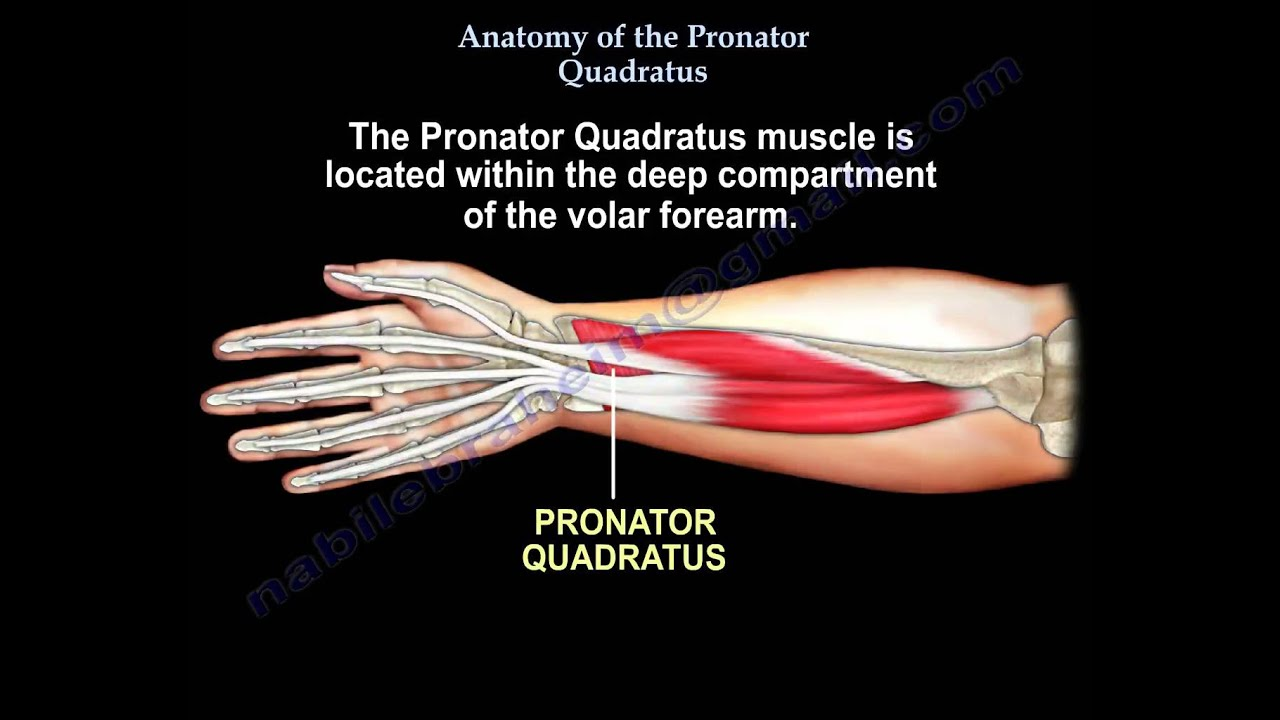 Anatomy Of The Pronator Quadratus - Everything You Need To Know - Dr ...