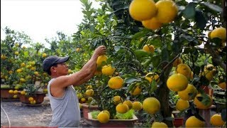 How to Harvest Pomelo ? Pomelo Harvesting & Agriculture & Processing Technology