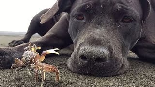 Funny Dog Meets Crab For The First Time|| Funny Video