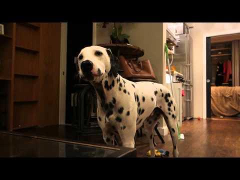 deaf-dalmatian-charlie-talking...-making-fire-truck-sounds