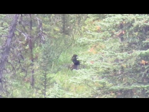 Is this a Bigfoot hunting a Deer? Shocking Sasquatch video