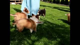 Shetland Sheepdog Puppies For Sale Steven Stoltzfus