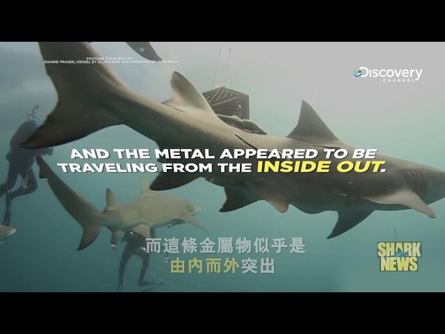 鯊魚週30週年特輯 Shark News : 超級英雄般的復原與免疫能力