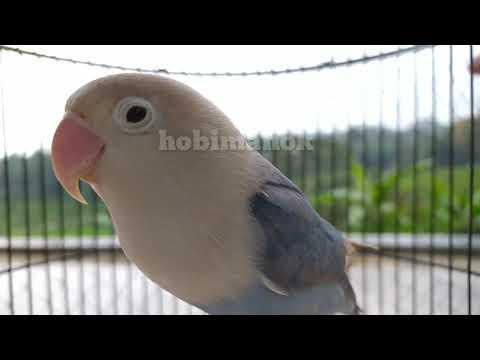 Gak Butuh 1 Menit Lovebird Diam Berubah Nyaut Ngekek Dengar Suara Ini