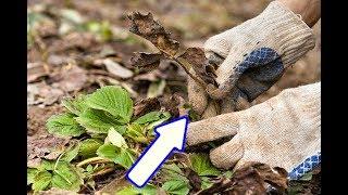 Сделайте это с клубникой в октябре для хорошего урожая на следующий год!