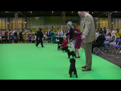 Affenpinscher in Crufts 2017