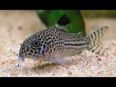 Los corydoras y sus tipos peces de agua dulce youtube for Peces de agua estancada