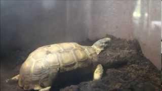 [HD 1080p]Bell's Hinge-back Tortoise neck stretch / 首を伸ばすベルセオレガメ