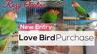 New Entry Love Bird Pair Purchase (Rozy Opaline Red Head)