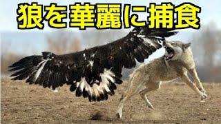 【野生動物の戦い】イヌワシの狩り 狼を華麗に捕食!空中からの猛攻にオ...